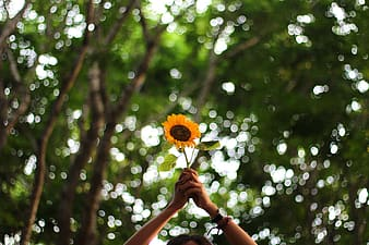 Selective focus photo of person holding yellow sunflower