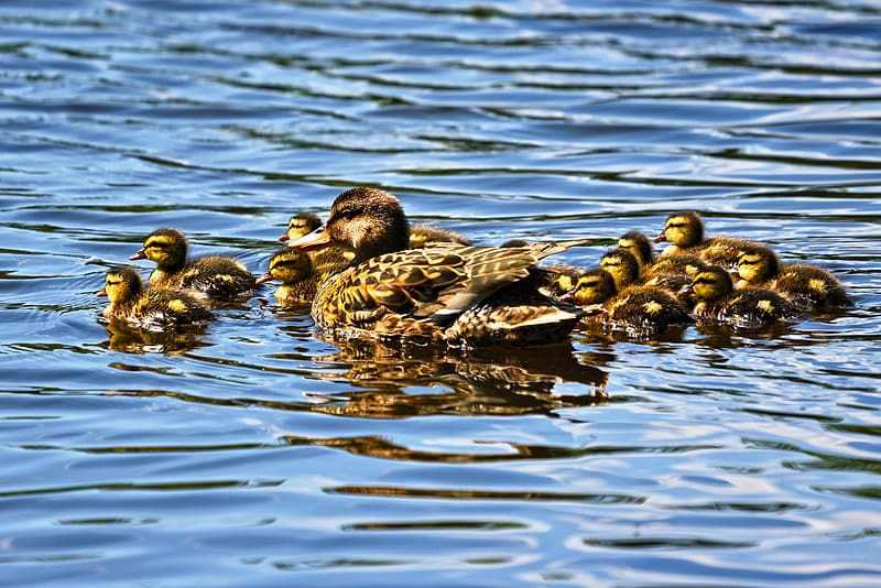 Group Of Duck And Ducklings Dipped On Water Pikrepo