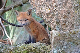 Brown fox sitting on brown rock