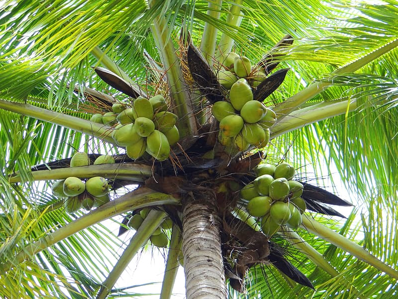 Low angle photo of coconuts in coconut tree