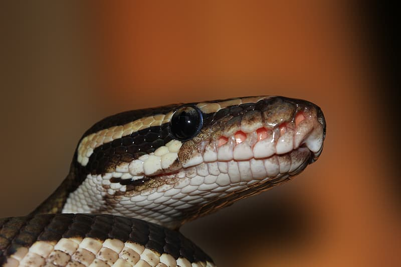 Black, brown, and white snake head close-up photography