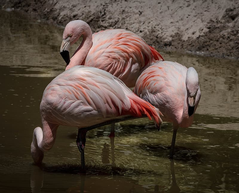 Three pink flamingos on body of water