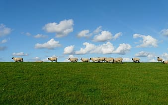 Herd of sheep under cloudy sky