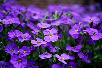 Closeup photography of purple verbena flowers