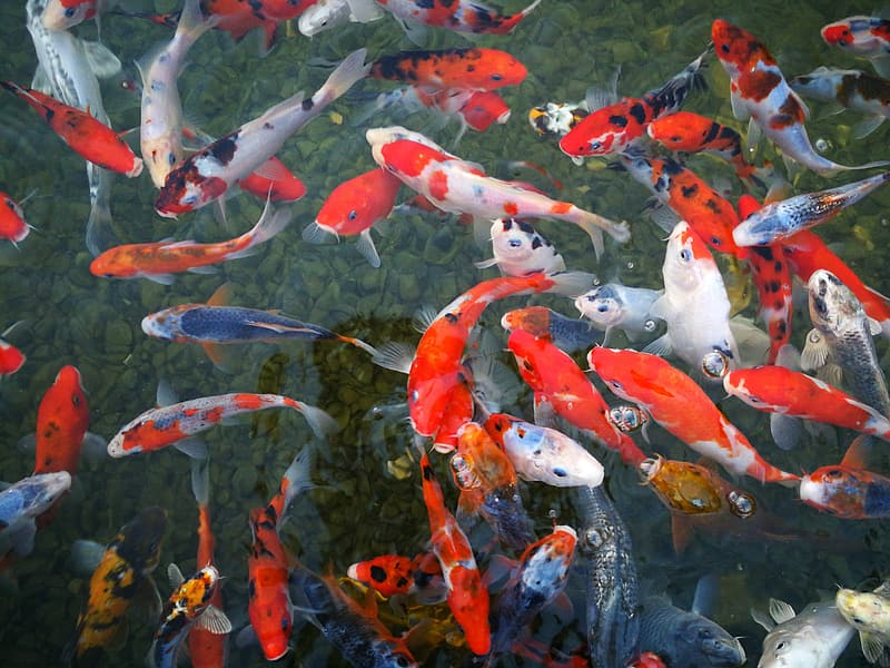 Top view photo of group of koi fish on body of water