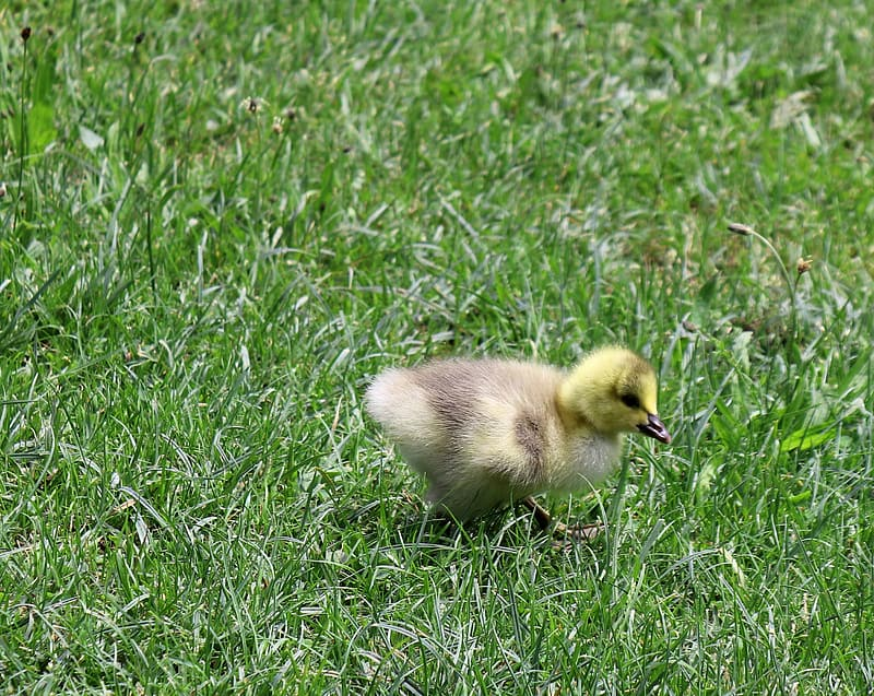 Brown and yellow duckling on green grass