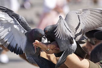 Person holding two gray pigeons
