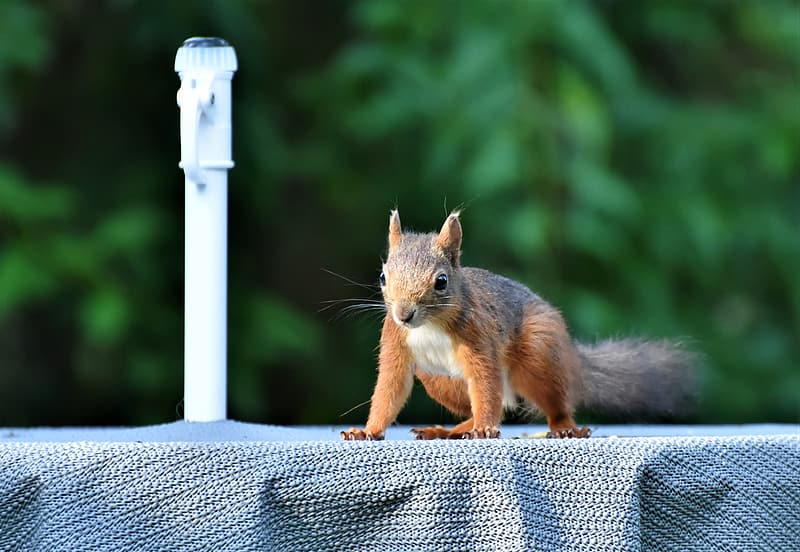 Brown squirrel on gray wooden fence during daytime