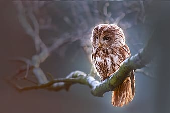 Brown owl on tree bark