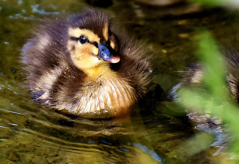 Two black-and-yellow ducklings on body of water