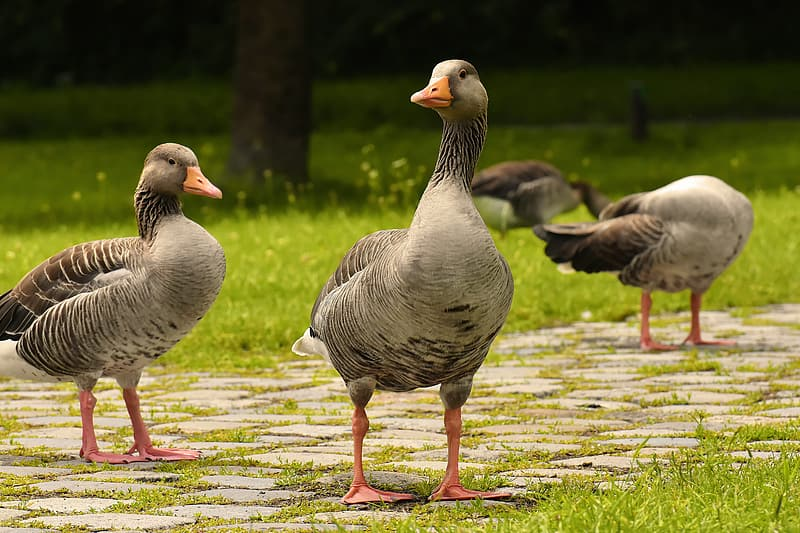 Two gray geese on brown soil