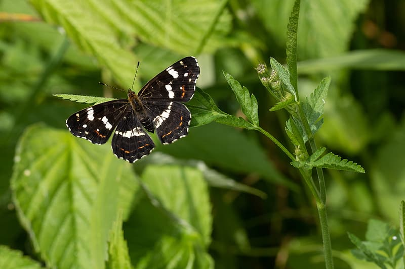 Black and white butterfly perched on green leaf