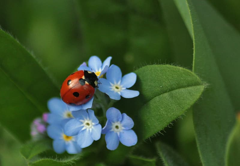 Red and black Ladybug perched on blue flowers during daytime