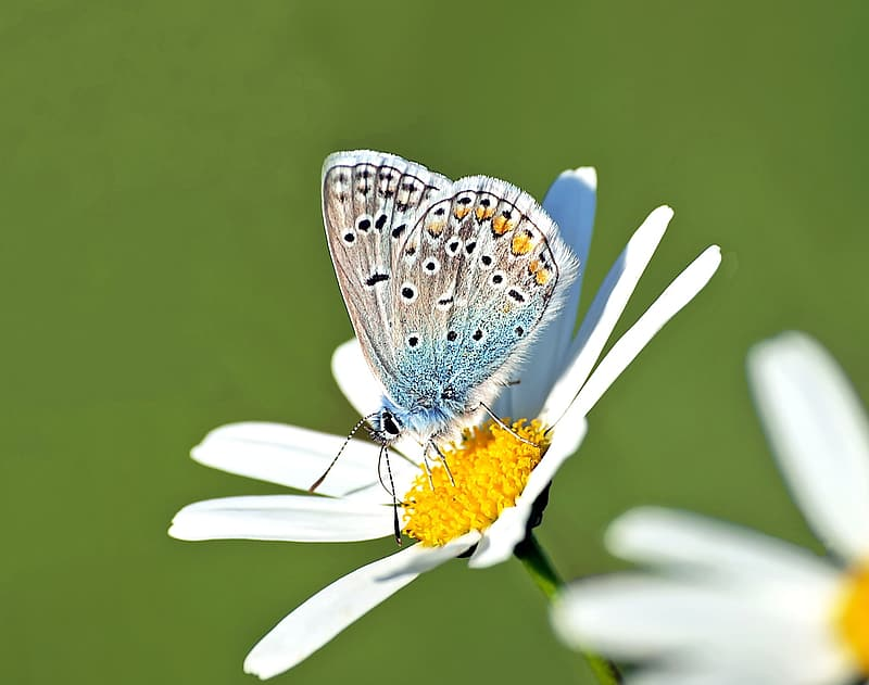 Closeup photography of underwing common blue butterfly perched on daisy flower