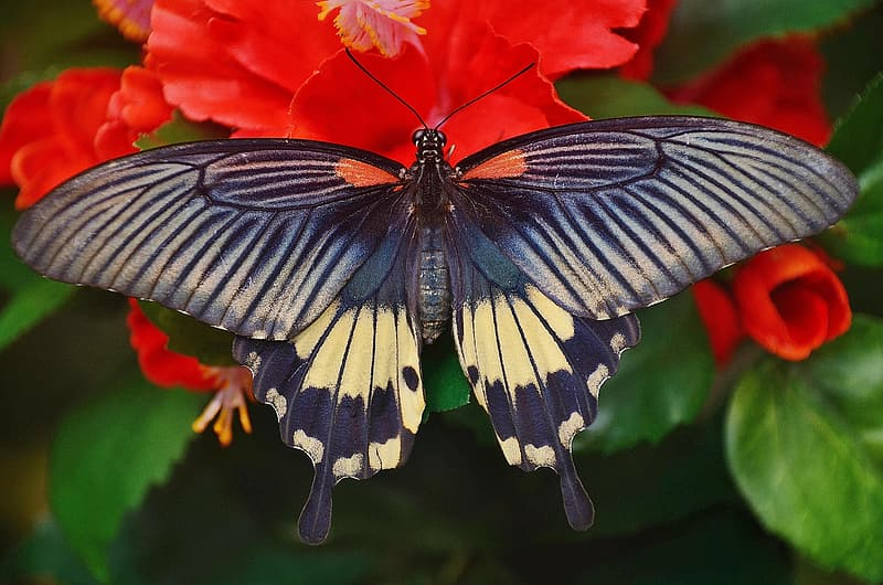Black and white spicebush swallowtail butterfly