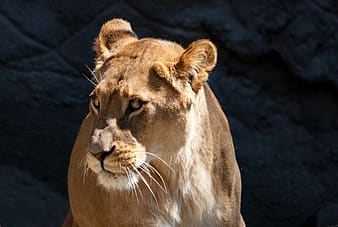 Adult lioness