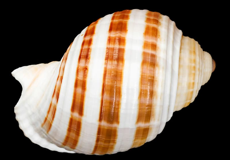 White and brown seashell illustration