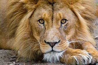 African Lion, brown lion lying on ground