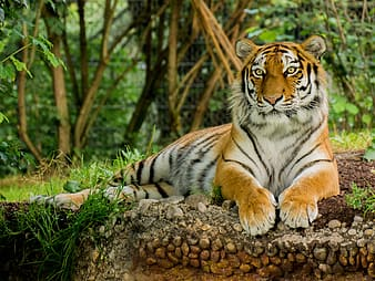 Bengal tiger lying on ground