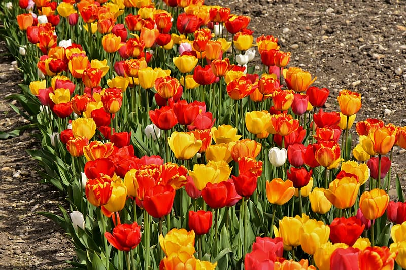 Yellow and red tulips in bloom at daytime