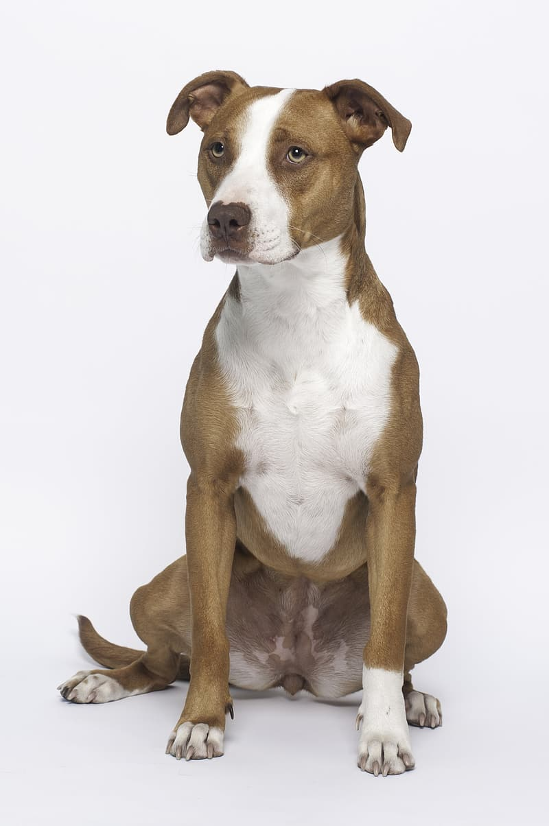 Adult white and brown American pit bull terrier