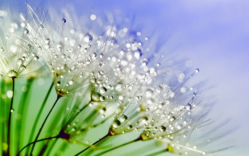 Macro photography of white dandelion flower with water droplets