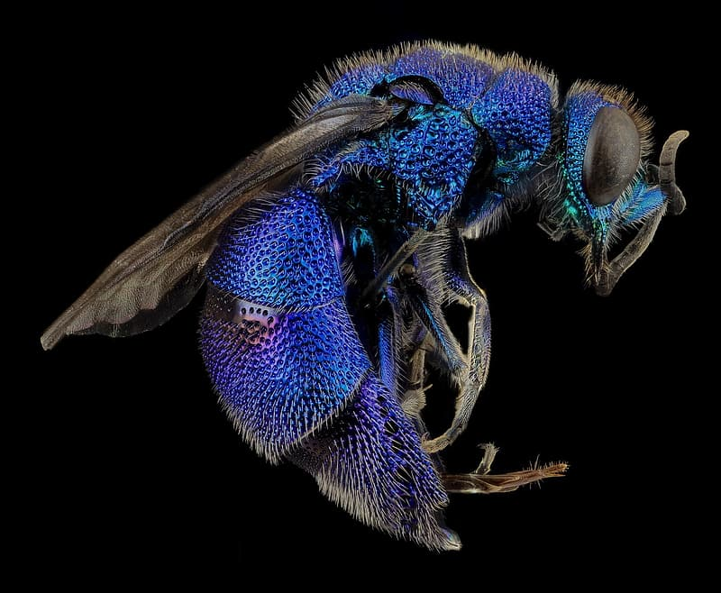 Micro photography of blue bee