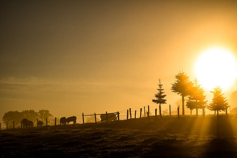 Cattle and trees under the ray of sun