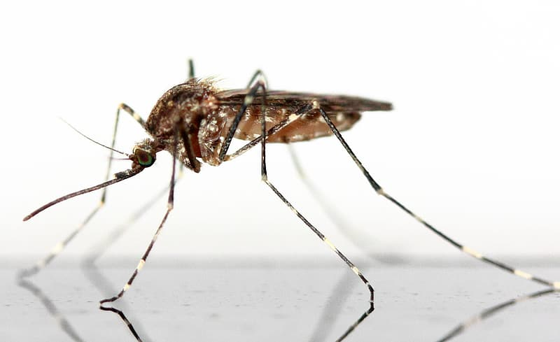 Closeup photography of brown Mosquito on white background
