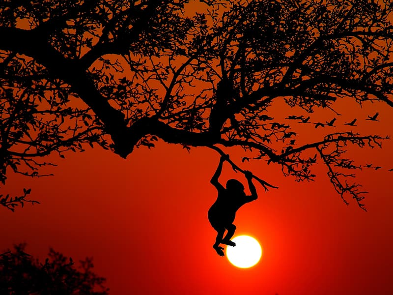 Silhouette of monkey hanging on tree branch