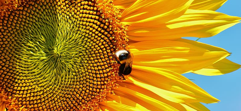 Black and yellow bee on yellow sunflower