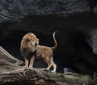 Opened mouth lion standing on tree
