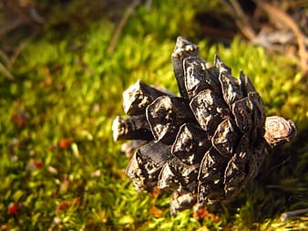 Black pinecone on green grass