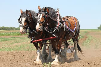 Two brown horses carrying cultivator