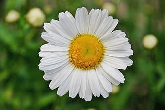 Closeup photography of white and yellow daisy flower