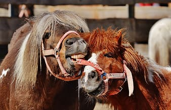 Two red and brown horses