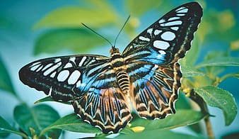butterfly, tropical butterfly, exotic, insect, wing, large butterfly, tropical butterflies, nature, botanical garden plant, botany