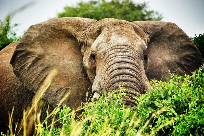 Gray elephant eating grass during daytime