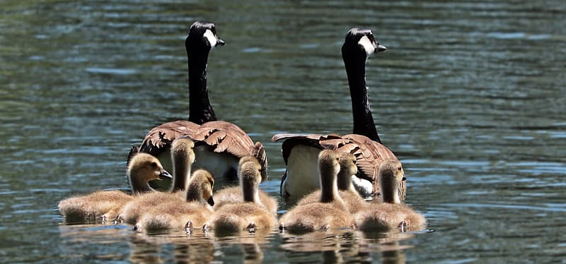 Two Canada Geese with ducklings on body of water during daytime