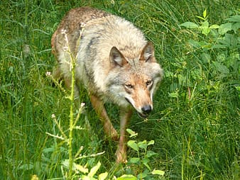 Brown and white wolf on green grass during daytime