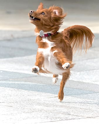 Long-coated red and white dog jumping during daytime