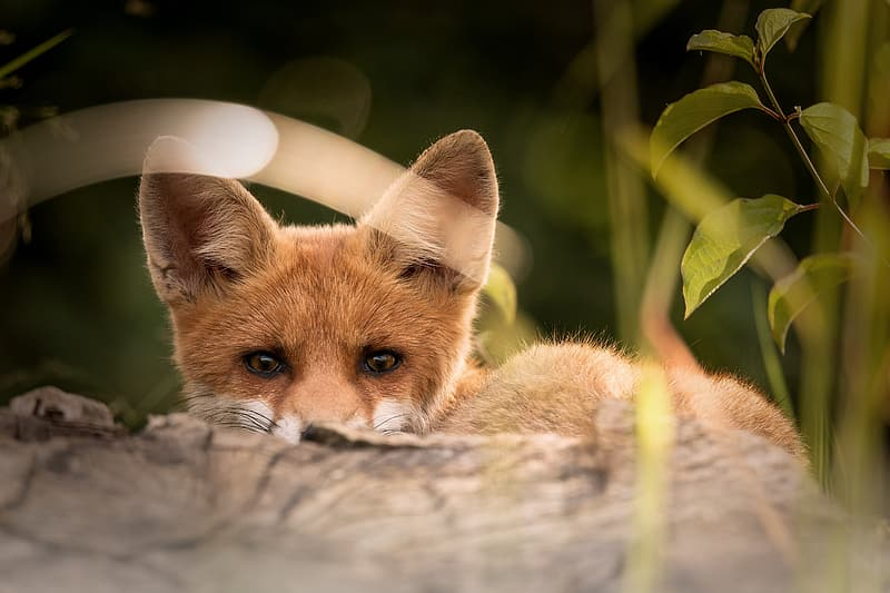 Brown fox in closeup photography