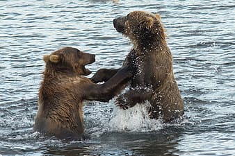 Two brown bears on water at daytime