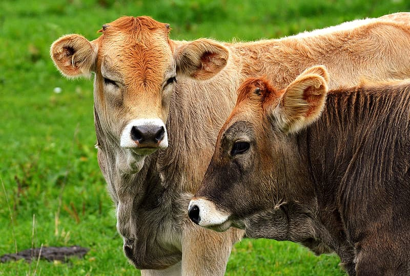 Two brow cows standing on green grass