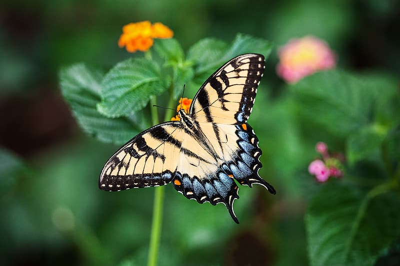Closeup photography of eastern tiger swallowtail butterfly