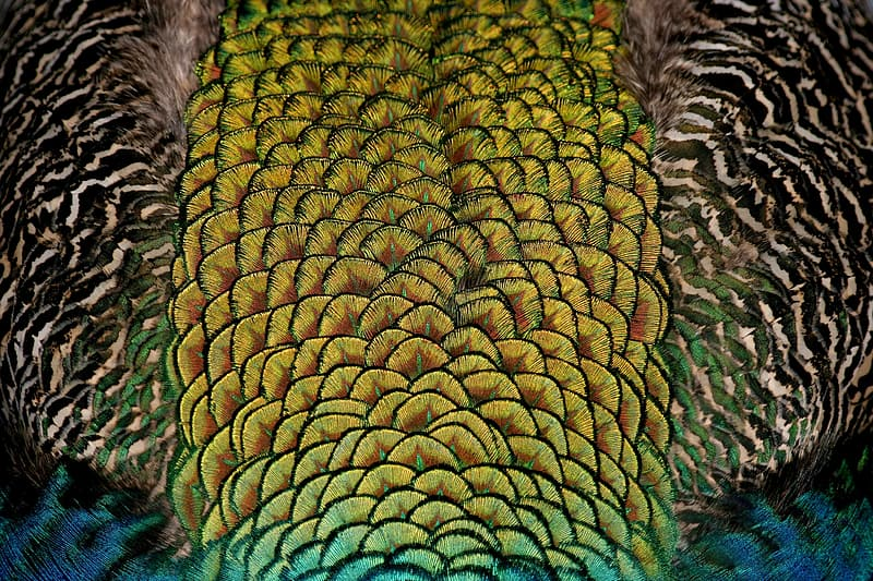Green and blue peacock feather wallpaper