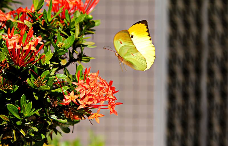 Yellow sulfur butterfly flying near red petaled flower during daytime