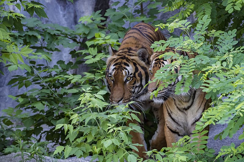 Shallow focus photography of tigers