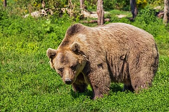 Animal photograph of brown bear