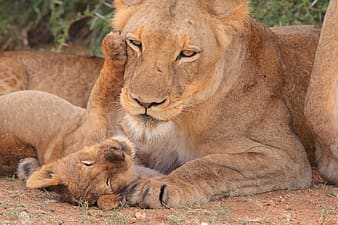 Brown lioness beside cub